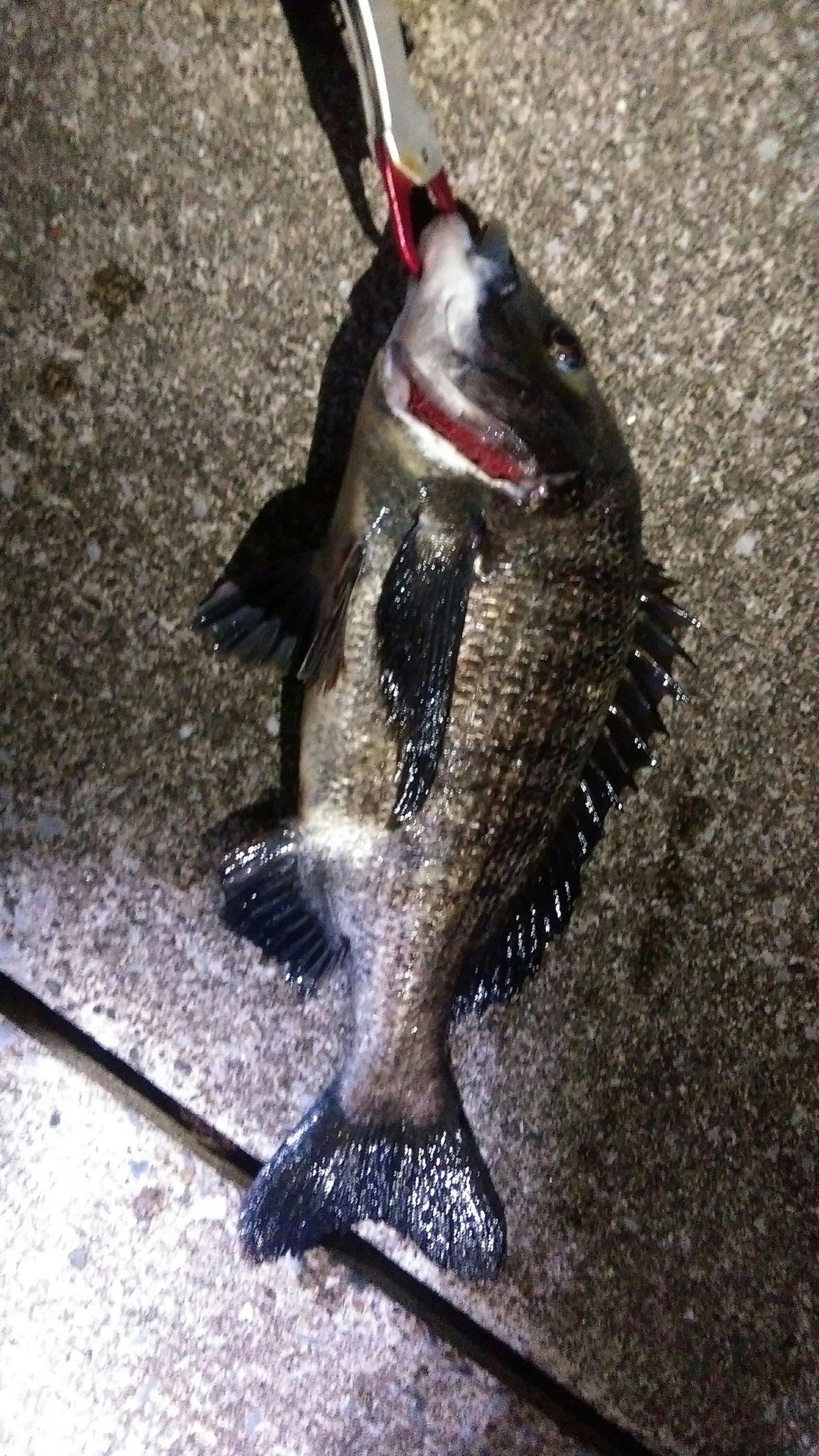 肉丸さんの投稿画像,写っている魚はクロダイ
