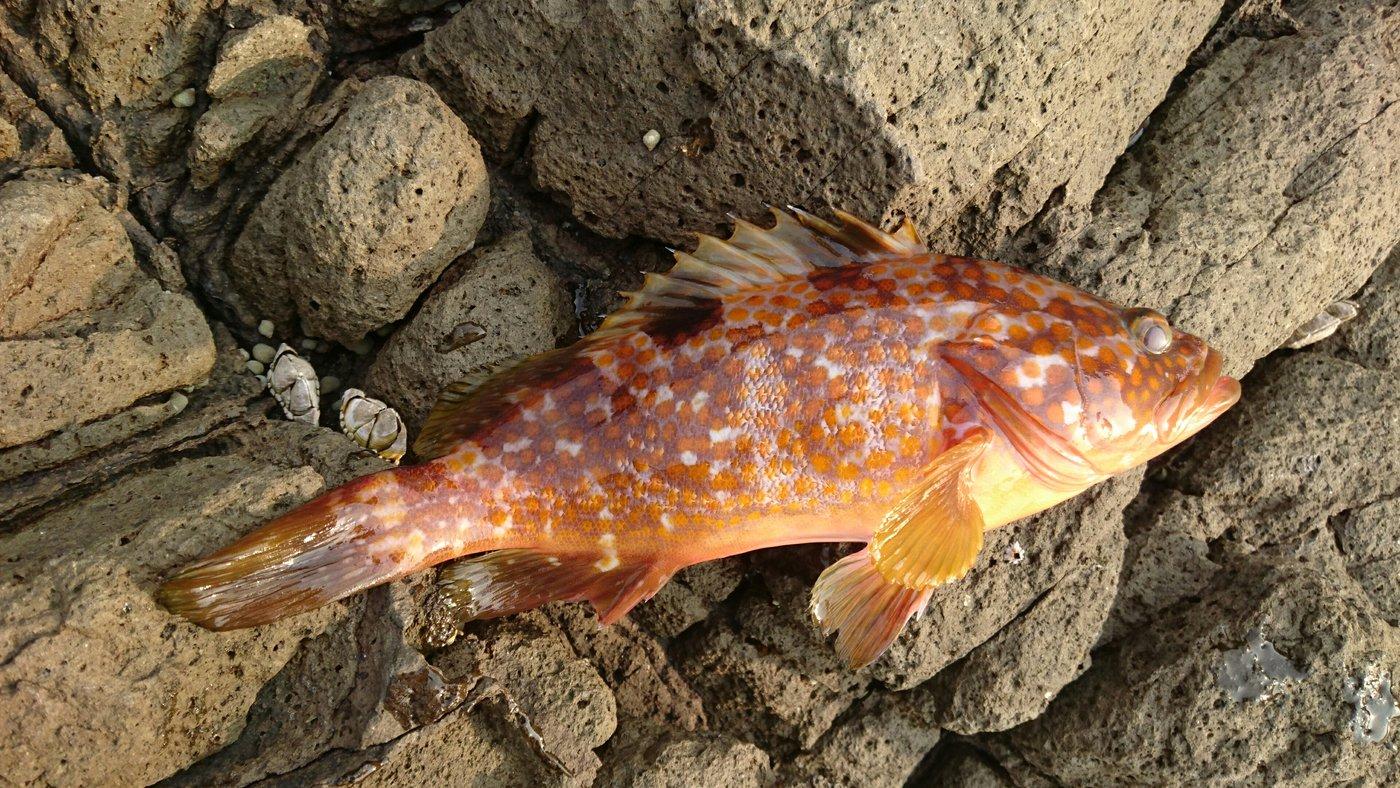 あっきーさんの投稿画像,写っている魚はキジハタ
