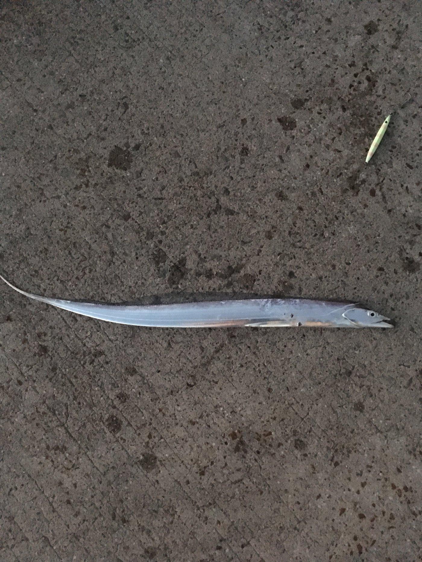 TDMAさんの投稿画像,写っている魚はタチウオ