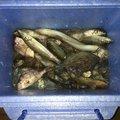 アリさんの広島県廿日市市でのキュウセンの釣果写真