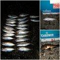沖さんのシロメバルの釣果写真