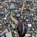 クリリューーさんの福岡県福津市でのアオリイカの釣果写真