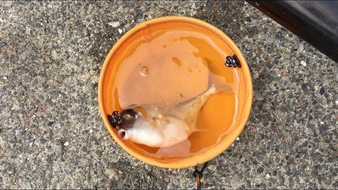 そうちゃんさんの投稿画像,写っている魚はギマ