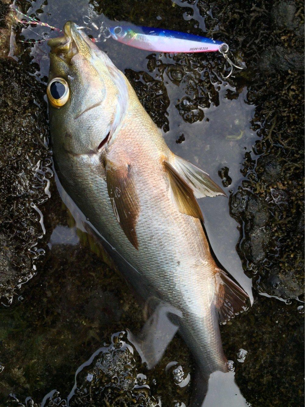 taketonbowさんの投稿画像,写っている魚はイサキ