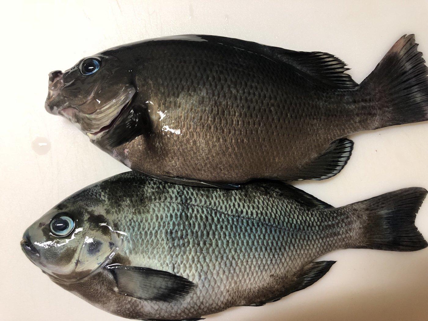 まささんの投稿画像,写っている魚はメジナ