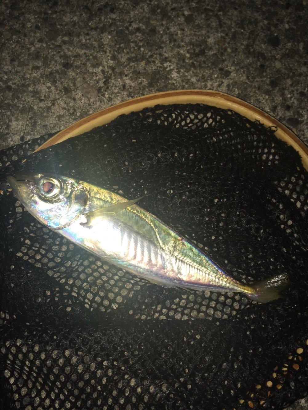 まらかすさんの投稿画像,写っている魚はアジ