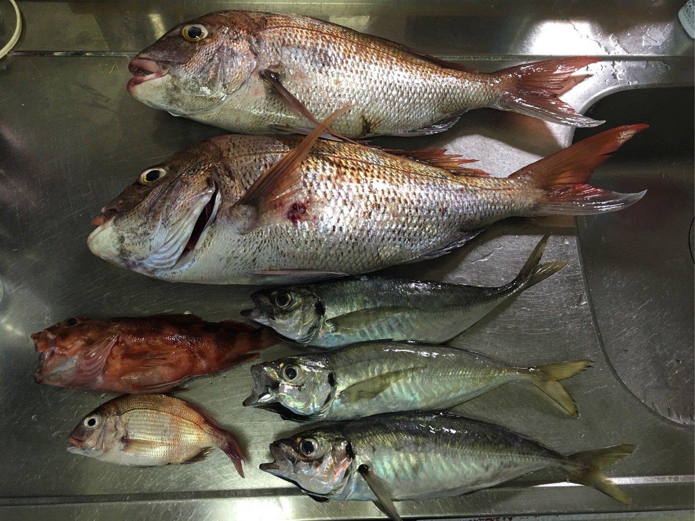JAH GUIDANCEさんの投稿画像,写っている魚はマダイ