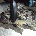 kenchang hさんの宮城県岩沼市での釣果写真