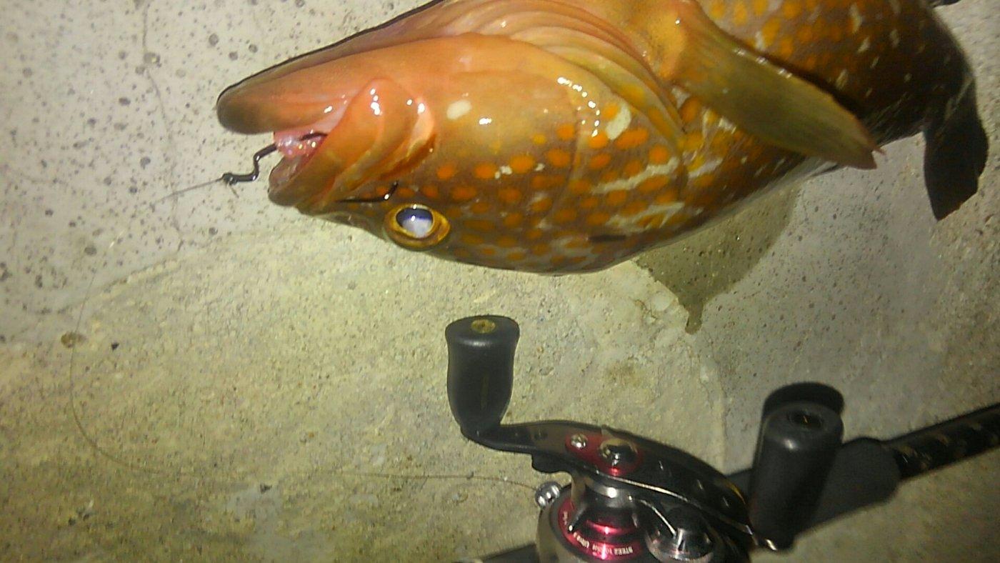 平野 健太さんの投稿画像,写っている魚はキジハタ