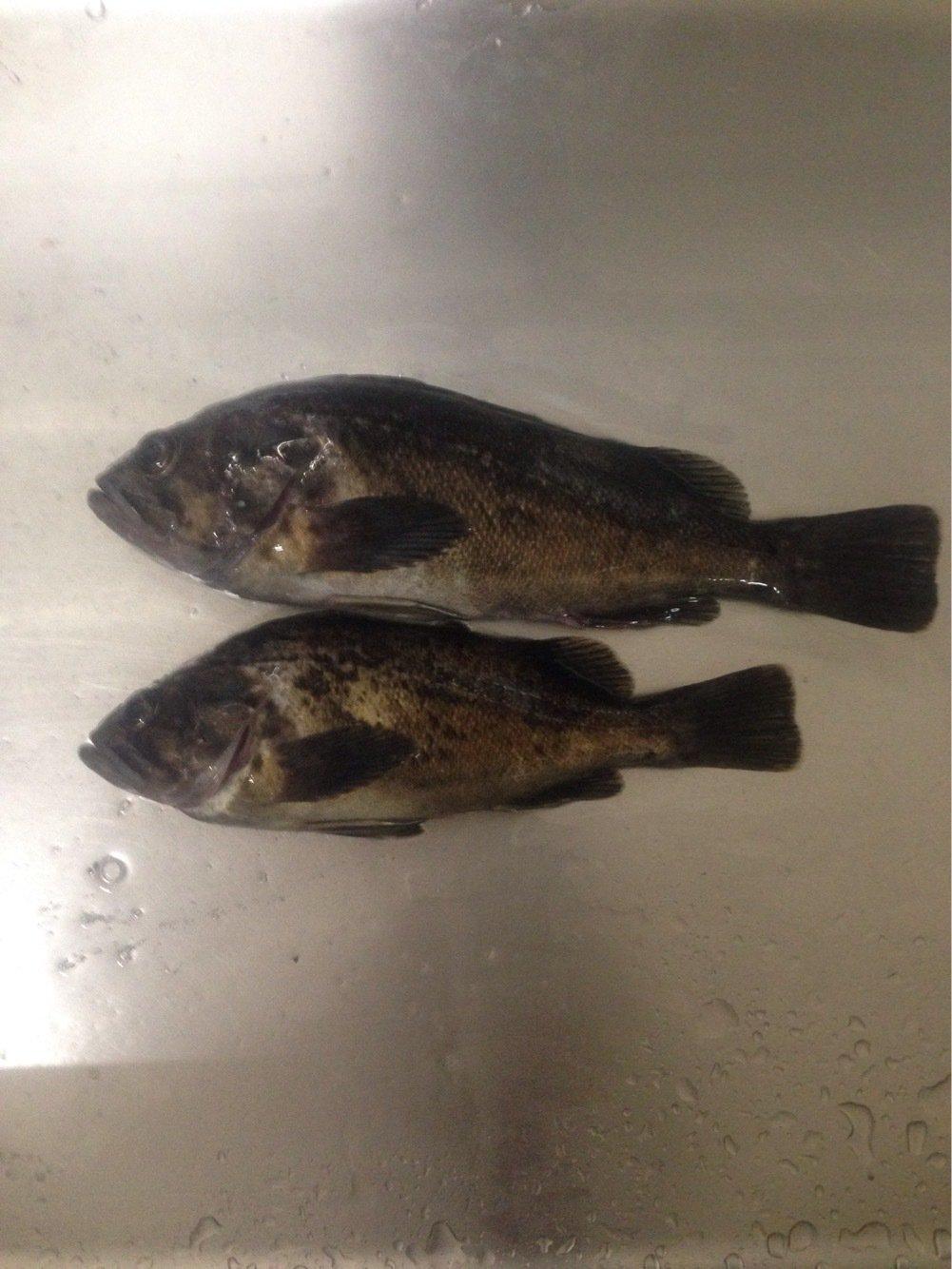 あさけんさんの投稿画像,写っている魚はクロソイ