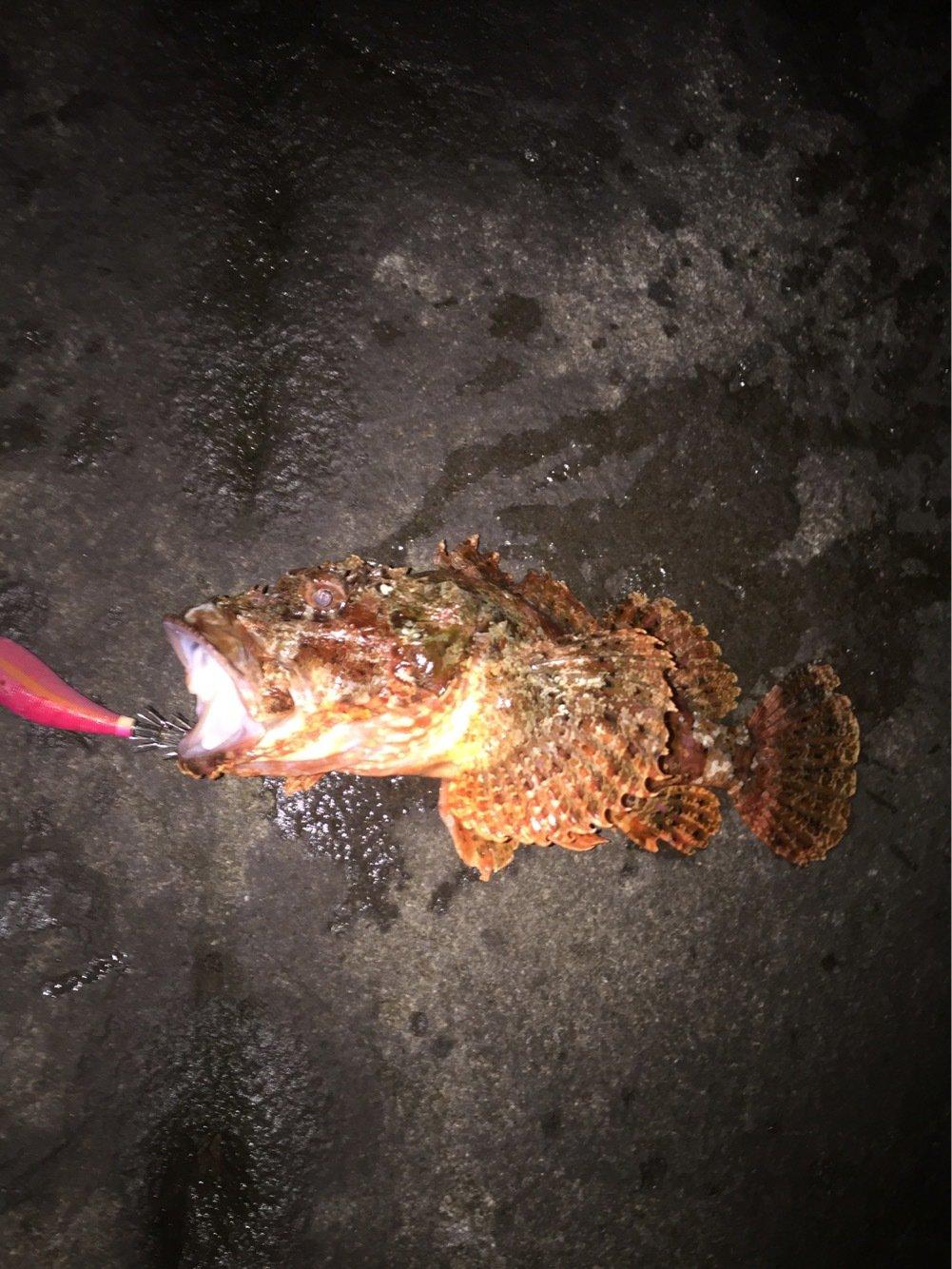 Tomoさんの投稿画像,写っている魚はカサゴ