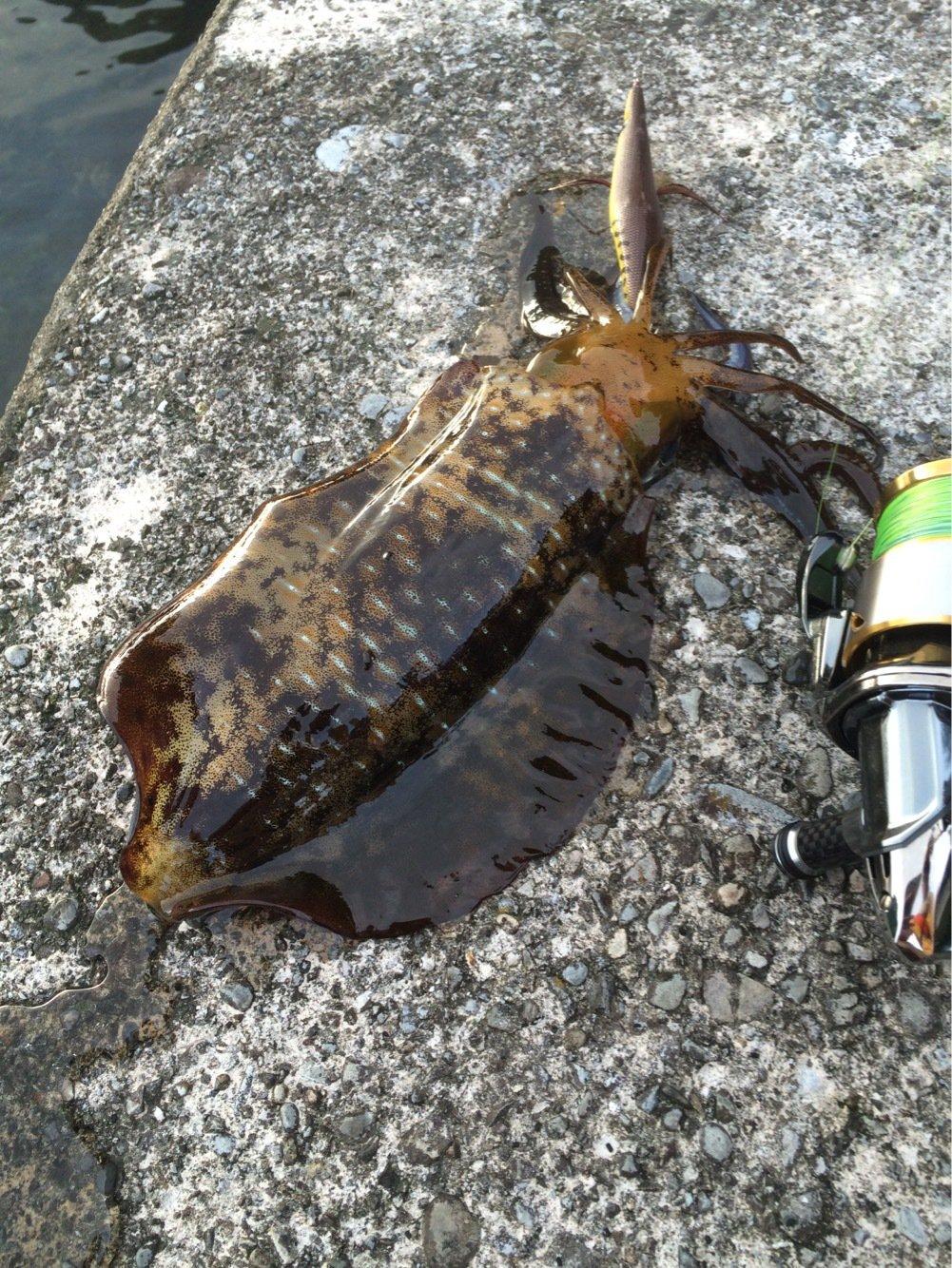 ブルーさんの投稿画像,写っている魚はアオリイカ