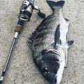 turn©︎さんの福岡県糸島市でのクロダイの釣果写真