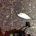 情報屋さんの千葉県千葉市でのアジの釣果写真