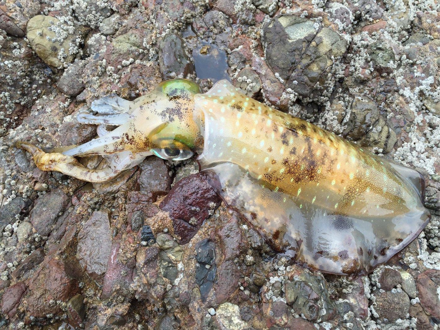 エムラオさんの投稿画像,写っている魚はアオリイカ