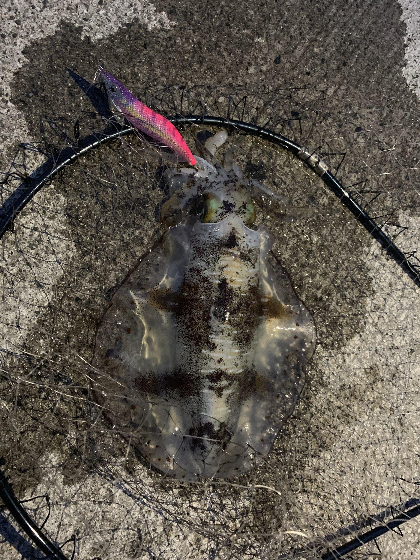 はげさんの投稿画像,写っている魚はアオリイカ