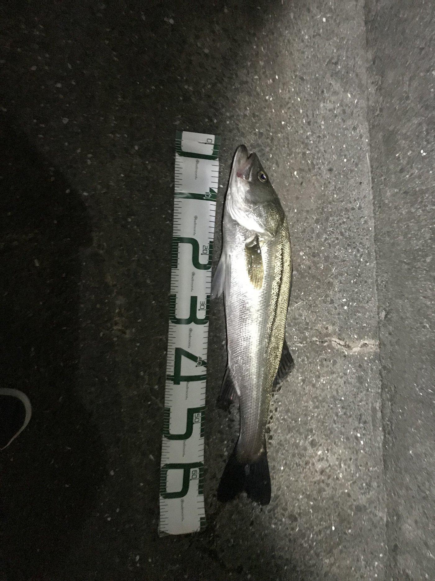 ドドレファンさんの投稿画像,写っている魚はスズキ