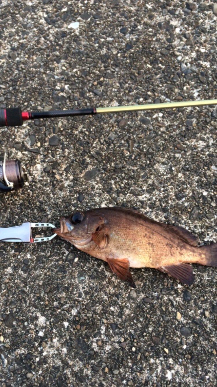 sさんの投稿画像,写っている魚はメバル