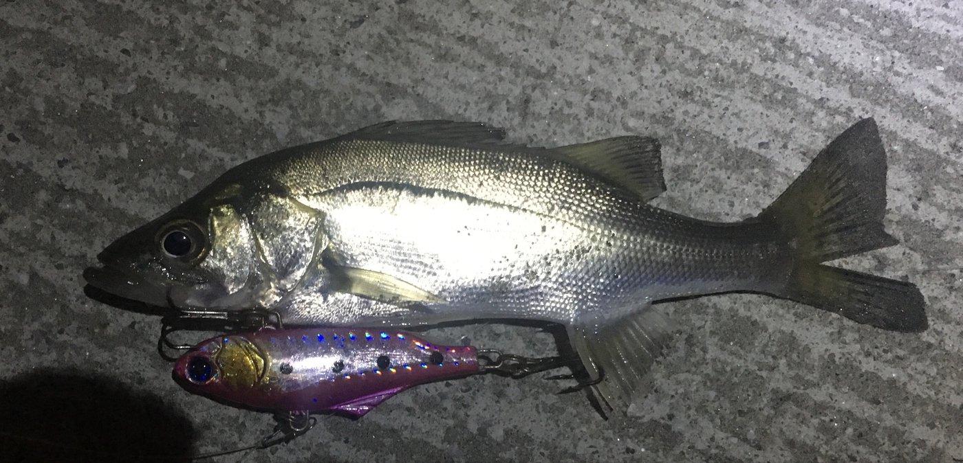軽油さんの投稿画像,写っている魚はスズキ