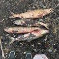 S.M.i.yさんの北海道伊達市での釣果写真
