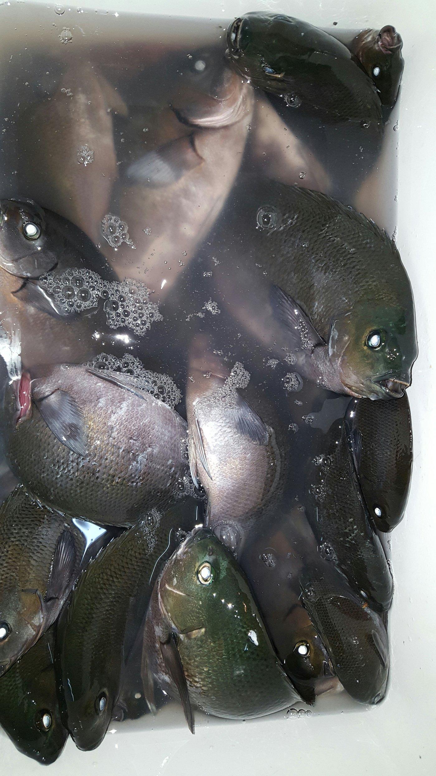 ミクロン( *¯ ꒳¯*)miさんの投稿画像,写っている魚はクロメジナ