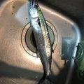 ケンイチさんの福岡県筑紫野市での釣果写真