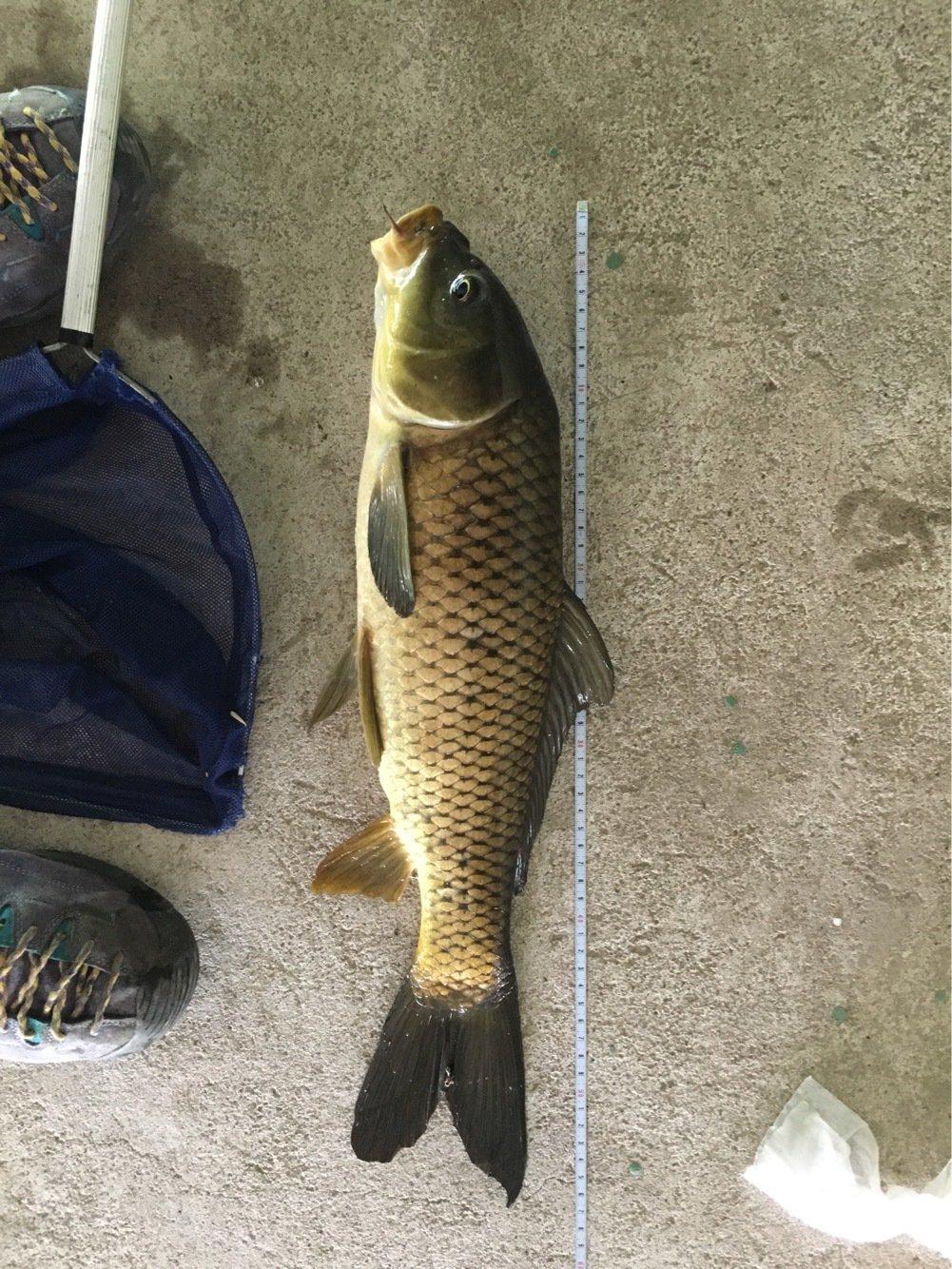 ニゴイさんの投稿画像,写っている魚はコイ