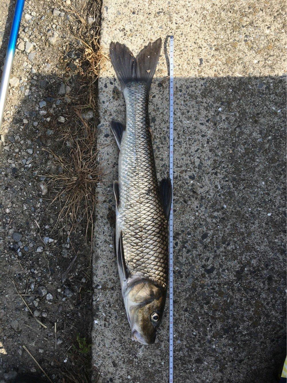 ニゴイさんの投稿画像,写っている魚はニゴイ