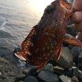 根掛かりさんの静岡県熱海市でのカサゴの釣果写真
