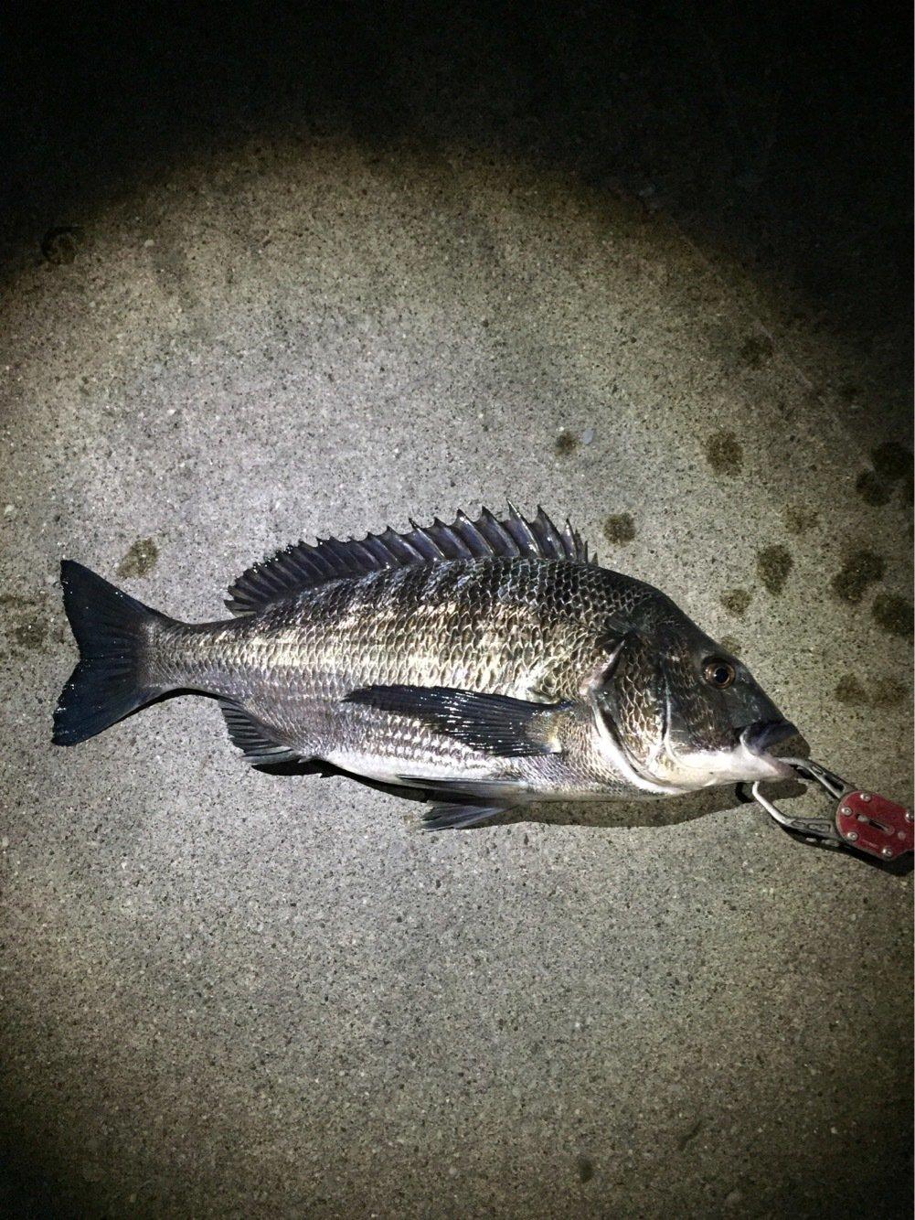 75さんの投稿画像,写っている魚はクロダイ