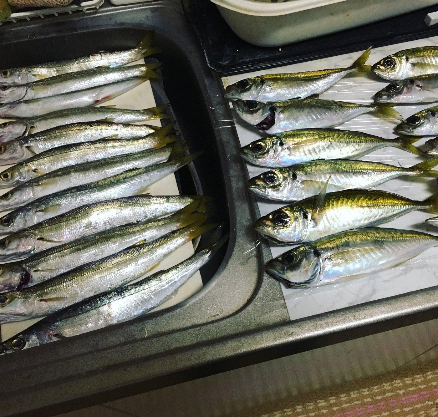 まなみんさんの投稿画像,写っている魚はアジ,カマス
