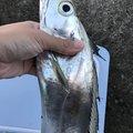 カサゴニゴさんの宮崎県日向市でのタチウオの釣果写真