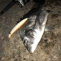 Yuuuuuuukiさんの福岡県糸島市でのクロダイの釣果写真