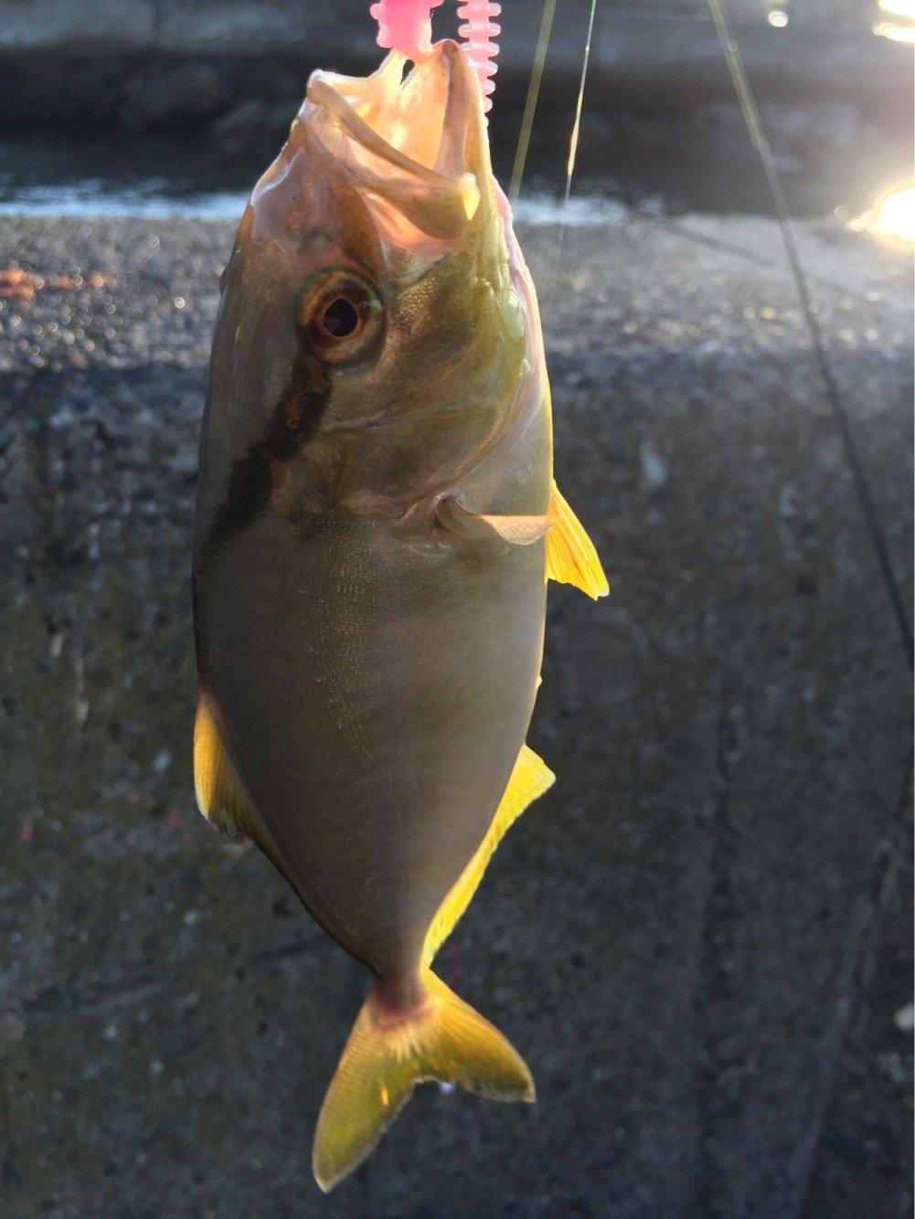 じょりらさんの投稿画像,写っている魚はカンパチ