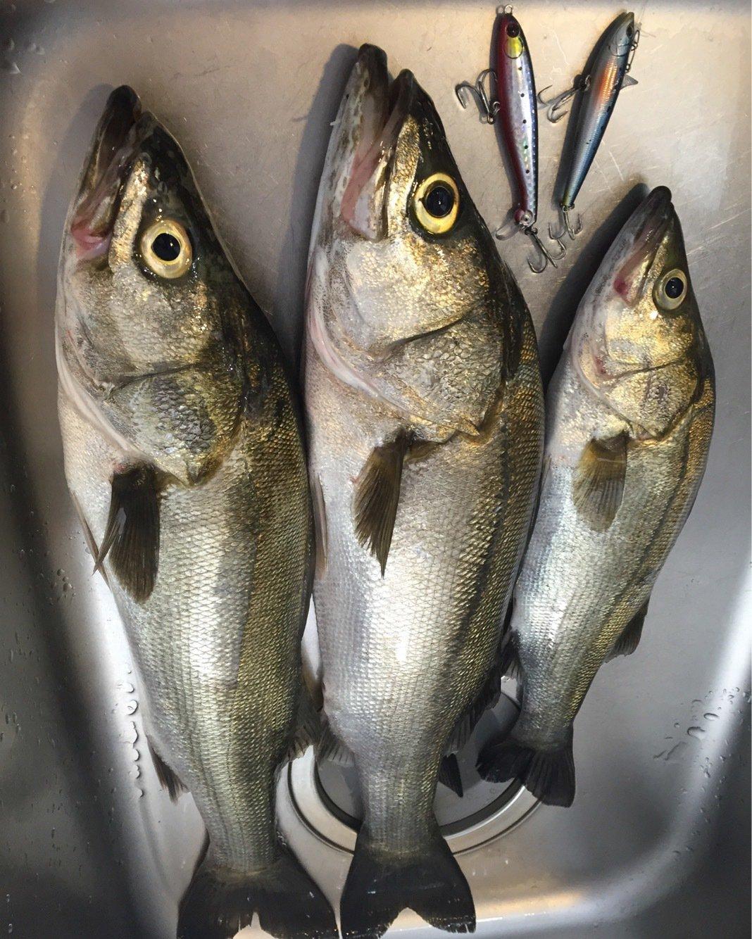 ミヤモトミチヒコさんの投稿画像,写っている魚はスズキ