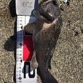 sp-masaさんの北海道増毛郡での釣果写真