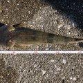 JIROさんの大分県東国東郡での釣果写真