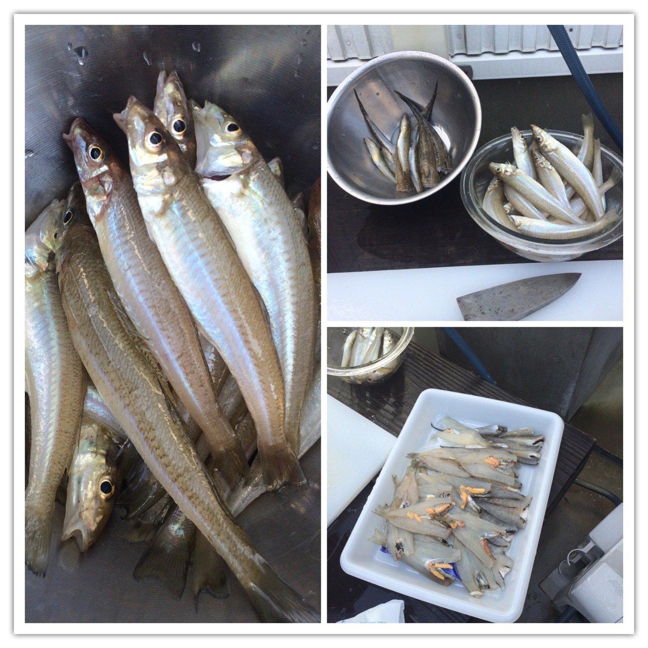 きいちさんの投稿画像,写っている魚はシロギス