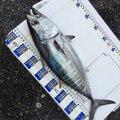 タケオさんのマグロの釣果写真