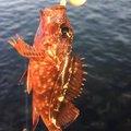 Kazuya さんの香川県香川郡での釣果写真