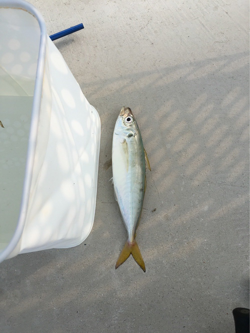 to atopさんの投稿画像,写っている魚はアジ