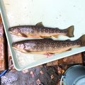 saccchanさんの長野県松本市での釣果写真
