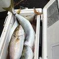 いもおんなさんの千葉県山武郡での釣果写真