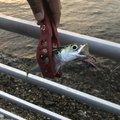 ダッジさんの静岡県湖西市でのマサバの釣果写真