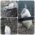とくさくさんの鹿児島県姶良市での釣果写真