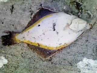 0138STYLEさんの投稿画像,写っている魚はスナガレイ
