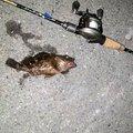 M@Uemuraさんの三重県四日市市でのカサゴの釣果写真