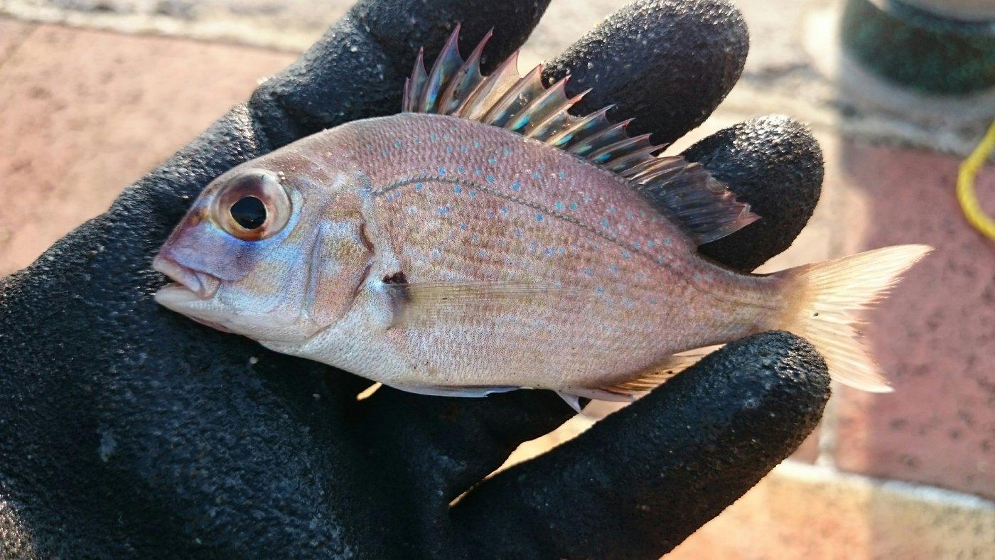 サカモンさんの投稿画像,写っている魚はマダイ