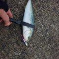 たにちょうさんの鳥取県岩美郡での釣果写真