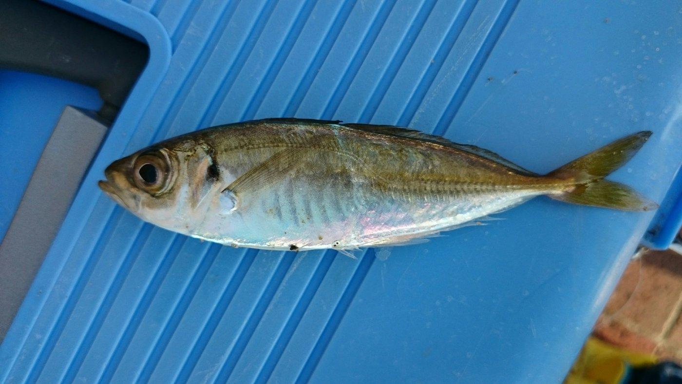 サカモンさんの投稿画像,写っている魚はアジ